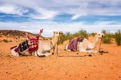 Kamel av öknen royaltyfria bilder