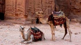 Kamel av petra Arkivfoto