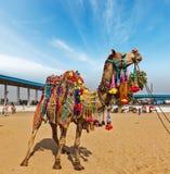 Kamel bei Pushkar Mela (Pushkar-Kamel angemessen), Indien Lizenzfreies Stockfoto