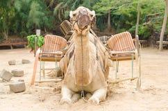 Kamel bereit zu einer Fahrt Stockfotografie