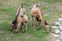 Kamel (Camelus) Stockfoto