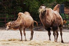 Kamel (Camelus ferus bactrianus) Lizenzfreies Stockbild