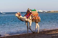 Kamel, das auf den Strand geht Lizenzfreie Stockfotos