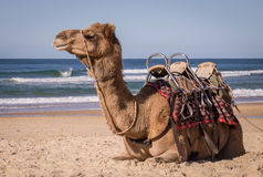 Kamel, das auf Strand in Australien stillsteht lizenzfreies stockbild