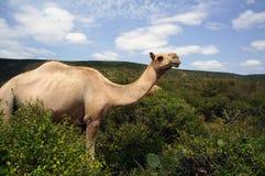 Kamel, das in der Babile-Elefant-Reserve weiden lässt stockfotos