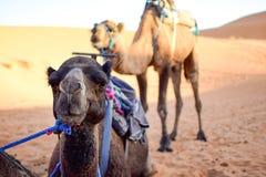 Kamel, das in der Sahara-Wüste und im Hintergrund eine Kamelstellung stillsteht stockbilder