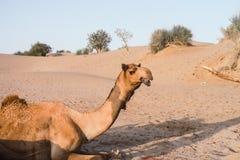 Kamel, das in der Thar-Wüste nahe Jaisalmer Indien herumhängt lizenzfreie stockbilder