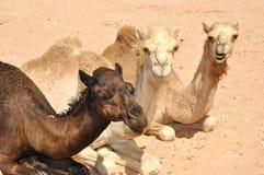 Kamel, das in der Wüste sittiing ist Stockbild