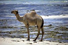 Kamel, das entlang das Ufer des Ozeans geht lizenzfreies stockfoto