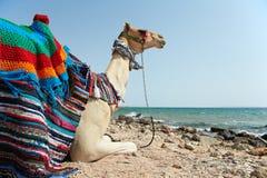 Kamel, das am Meerstrand sitzt Lizenzfreies Stockfoto