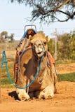 Kamel, das mit Sattel sitzt stockfotos