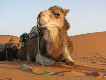 Kamel, das sich hinlegt Stockfotografie