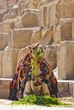 Kamel, das vor den Pyramiden zu Mittag isst Stockbild