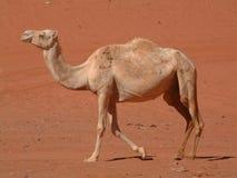 Kamel, das in Wüste geht Lizenzfreie Stockfotografie