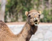 Kamel, das Zähne zeigt Stockbild