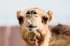 Kamel, das Zähne zeigt Stockfoto