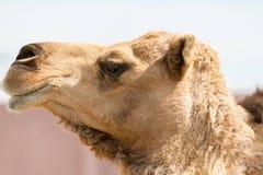 Kamel, das Zähne zeigt Stockfotos