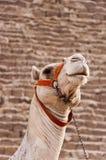 Kamel an den Giza-Pyramiden Stockfoto