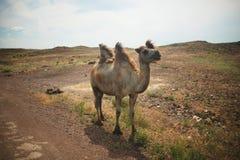 Kamel in den Steppen von Kasachstan lizenzfreie stockfotos