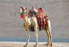 Kamel in den traditionellen beduinischen Roben Stockbilder