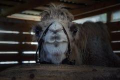 Kamel in der dunklen Koppel lizenzfreie stockfotografie