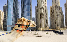 Kamel in der Stadt lizenzfreies stockbild