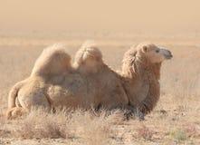 Kamel in der Steppe Stockfotos