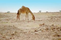 Kamel in der Wüste Lizenzfreies Stockfoto