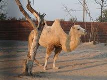 Kamel in der Wüste stockfoto
