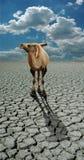 Kamel in der Wüste Lizenzfreie Stockfotos