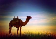 Kamel in der Wüste vektor abbildung