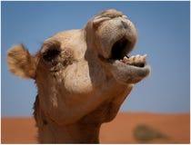 Kamel in der Wüste stockfotos