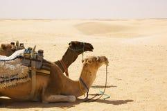 Kamel in der Wüste stockbilder
