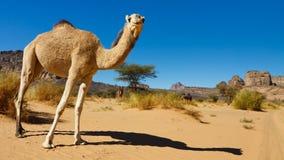 Kamel in der Wüste - Akakus (Acacus), Libyen lizenzfreies stockfoto