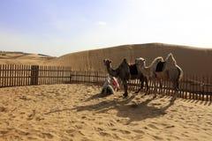 Kamel in der Wüste, luftgetrockneter Ziegelstein rgb stockbilder