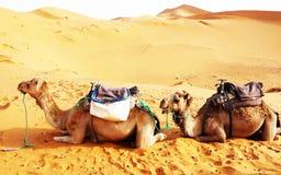 Kamel in der Wüste in Marokko stockfotografie