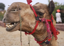 Kamel in der Wüste Oase Indien Lizenzfreies Stockbild