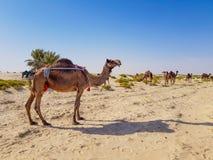 Kamel in der Wüste von Saudi-Arabien stockfotografie