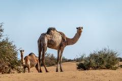 Kamel in der Wüste von Sudan Blätter eines Akazienbusches, Sahara essend lizenzfreies stockfoto