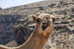 Kamel der wild lebenden Tiere, das lustiges inneres Kamera-Oman-salalah Landschaftarabisch 2 schaut stockbild