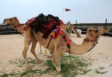 kamel doha hobbled qatar royaltyfria foton