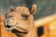 Kamel & x28; dromedar eller en-ha sex med Camel& x29; , Parkerar emirater zoo, Abu Dh Royaltyfri Bild