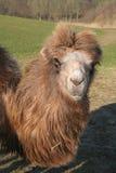 Kamel Dromedary stockbilder