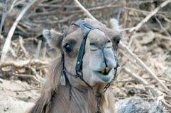 Kamel (Dromedary) lizenzfreies stockbild