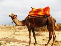 kamel egypt Arkivfoto