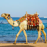kamel egypt Arkivfoton
