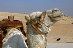 kamel egypt Fotografering för Bildbyråer