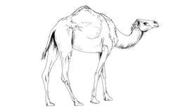 Kamel eigenhändig gezeichnet in Tinte in volles Wachstum Lizenzfreie Stockfotos