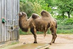 Kamel in einem Mittel in London lizenzfreies stockbild