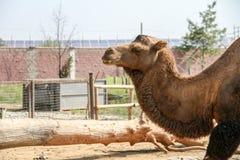 Kamel in einem Park lizenzfreie stockfotografie